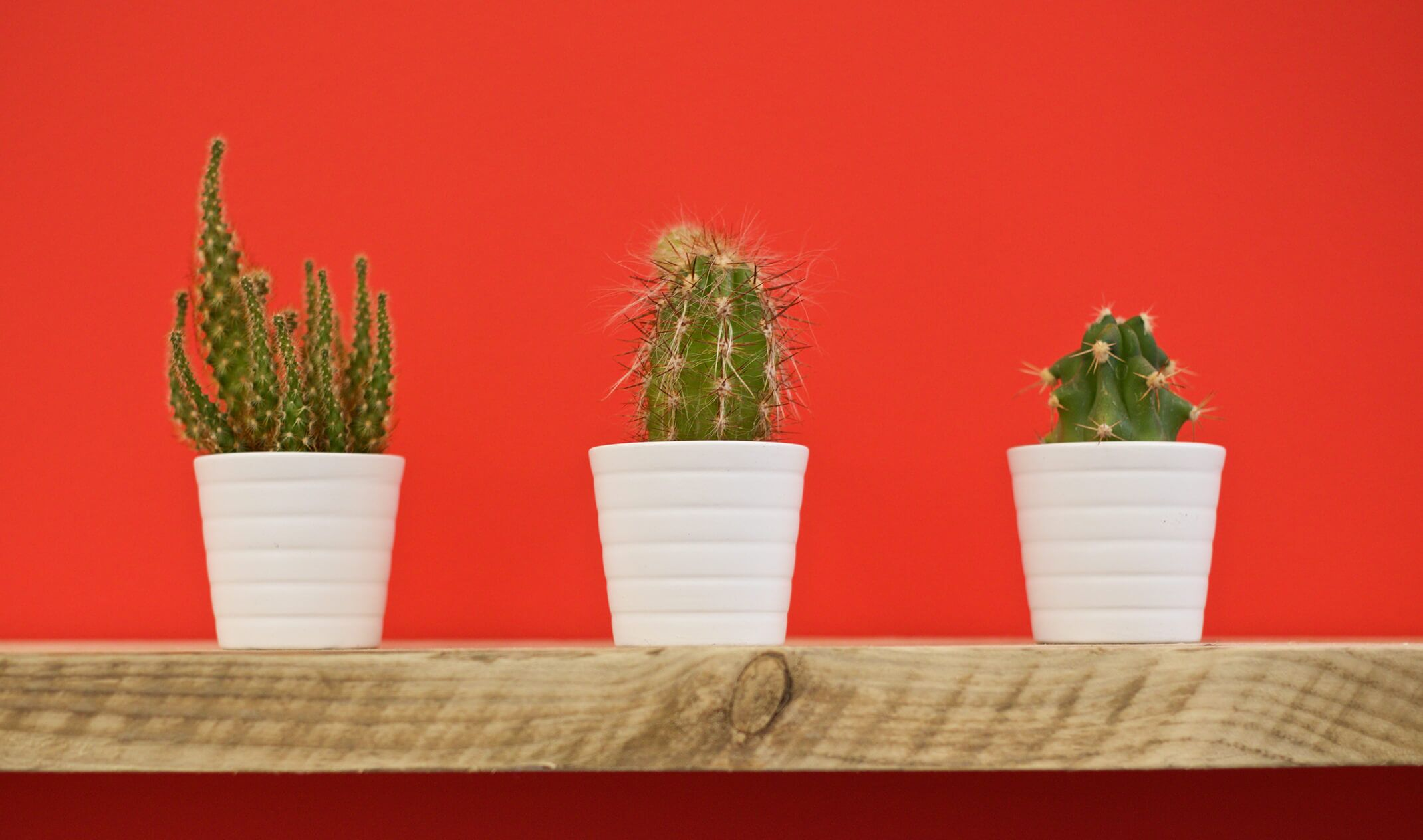 three cacti in white pots on a shelf