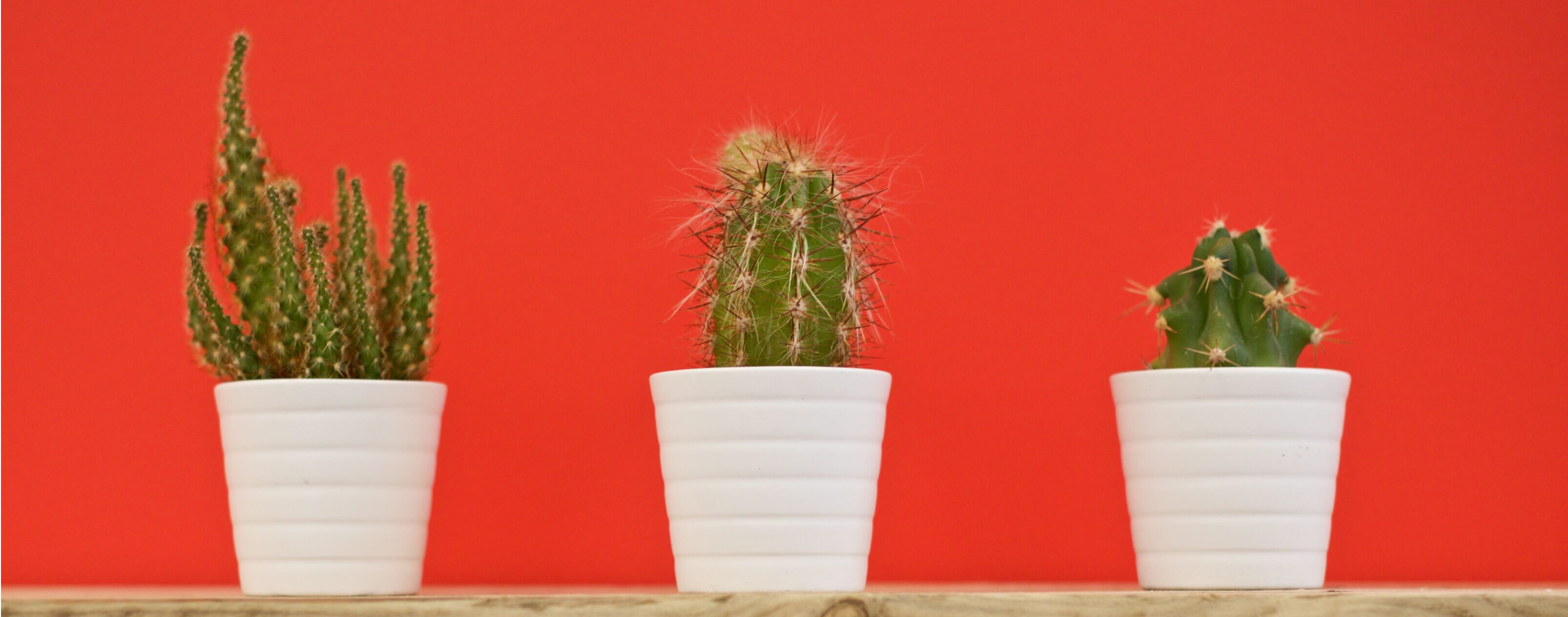 cacti on red wall